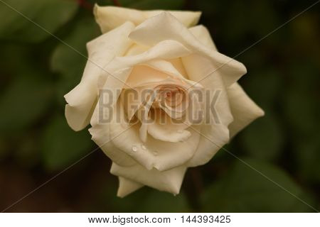 White rose in the garden after the rain