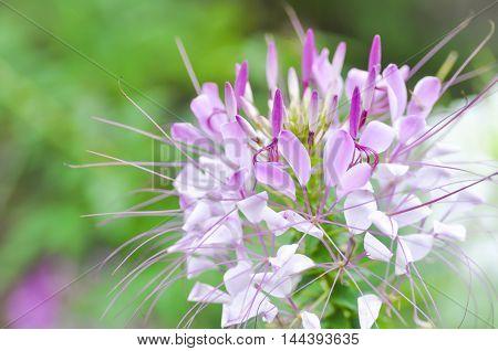 spider flowers in the garden , spider flower