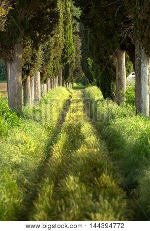 Footpath lined with cypress trees