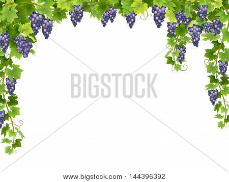 Frame from hanging bunches of ripe blue grapes with branches and leaves.