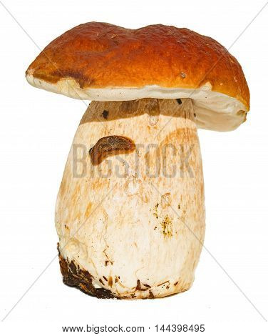 porcini with a slug on a leg. It is isolated on white