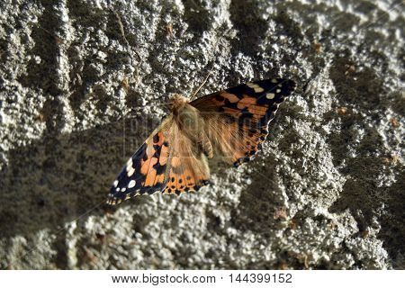 The butterfly is the representative of fauna of Europe. Beautiful insect. Eats a nettle. Aglais urticae