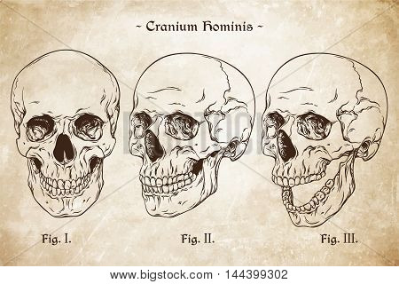 Vector Human Skulls Set Hand Drawn Line Art Anatomically Correct