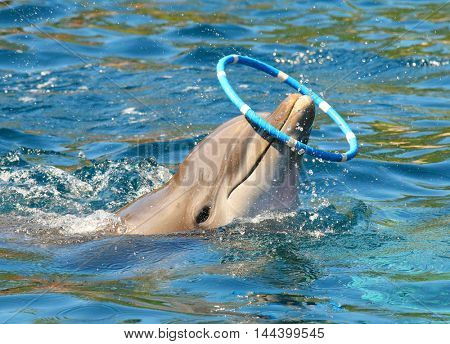 Dolphin smiling and playing with plastic circle near beach. Funny and friendly animal. Greeting from tropical paradise.