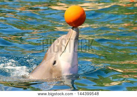 Dolphin smiling and playing with ball near beach. Funny and friendly animal. Greeting from tropical paradise.