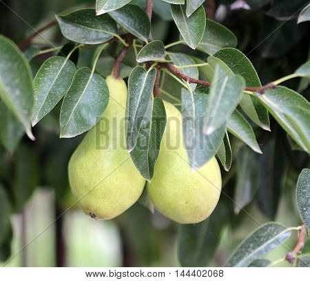 picture of a pear leaves and pear focus on foreground