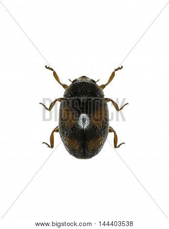 Ladybird Beetle Scymnus on white Background  -  Scymnus frontalis (Fabricius, 1787)