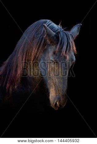 Portrait of the black Frisian horse on the black background
