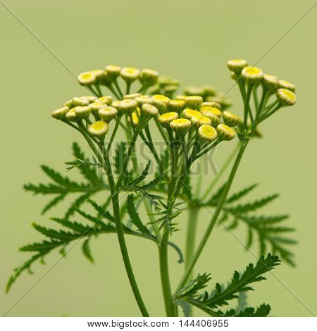 Tansy (Tanacetum vulgare) plant in flower. A yellow flowered perennial plant hisotrically used in cooking and for a variety of medicinal uses in the daisy family (Asteraceae)