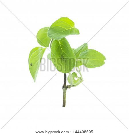 Oregano Green Leaf Herb Ingredient