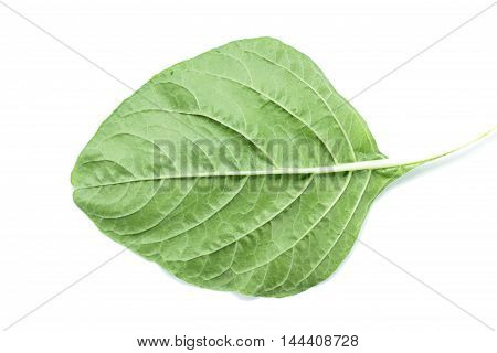 Fresh Spinach Leaf Venation Close Up