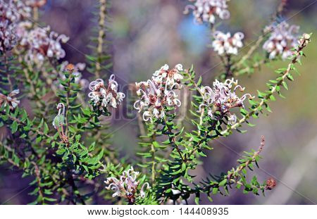 Grevillea buxifolia (Grey Spider flower or Box-leaved Grevillea) in the Royal National Park, New South Wales, Australia