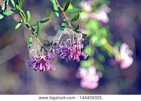 Delicate flowers of Grevillea sericea, the pink spider flower, Royal National Park, Sydney, Australia