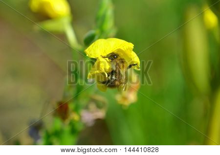 small bee pollinating yellow weed summer plant