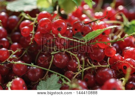freshly picked red currant berries background, closeup photo