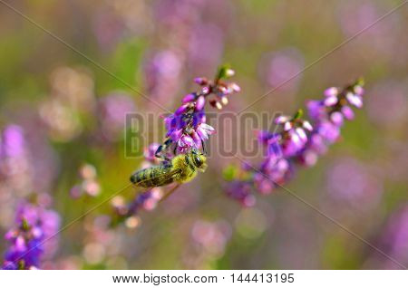 small bee pollinating pink heather erica weed