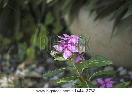 Purple Catharanthus roseus. Pink Wildflower in Thailand.