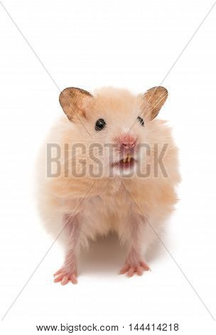 small hamster isolated on a white background