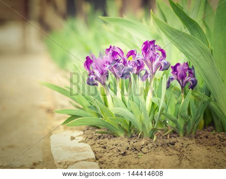 Purple Iris in a natural environment. Beautiful flowers growing on the ground shrubs on a blurred background. Images for backgrounds and printed materials