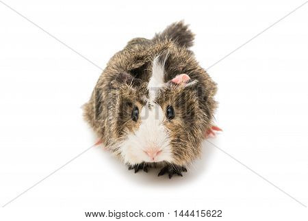 small guinea pig on a white background