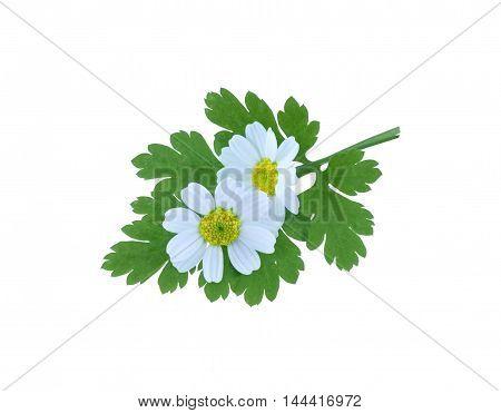 Tanacetum parthenium, common name, Feverfew, isolated on a white background.