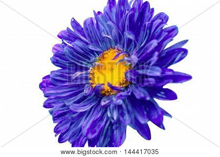violet aster flower on a white background