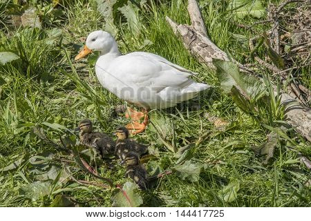 Pekin Duck, Standing By The River With Ducklings