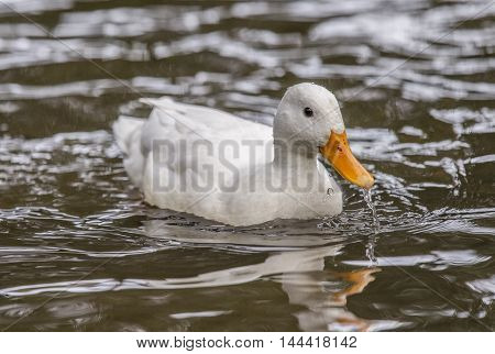 Pekin Duck, Swimming In A River, Close Up