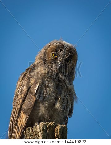 Young Scops Owl Sitting On An Old Tree Stump In The Sunlight