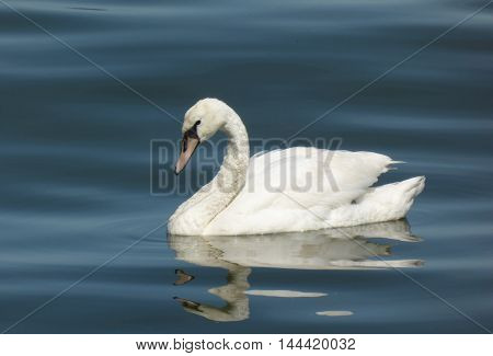 Flowing sad white swan on calm water