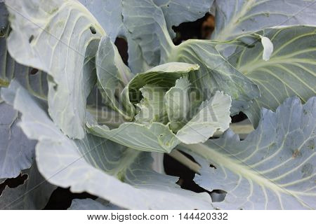 Fresh big green leaves of cabbage. Agriculture