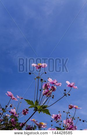 Flower called Anemone hupehensis shot from low camera angle against backdrop of an almost clear blue sky on a sunny day in bright sunlight. Floral background with copy space. Vertical composition.