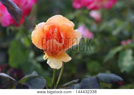 This is an image of a fresh orange rose taken on a sunny day in Carmel, California, USA.