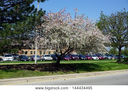 JOLIET, ILLINOIS / UNITED STATES - APRIL 22, 2016: A crab apple tree blossoms in a traffic island across from Joliet's Wesmere Elementary School during April.