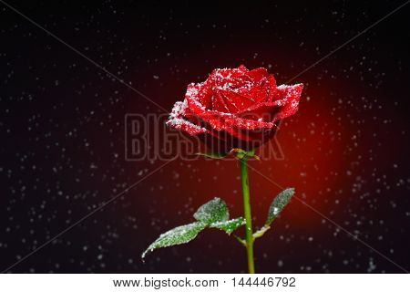 rose and snowflakes falling over