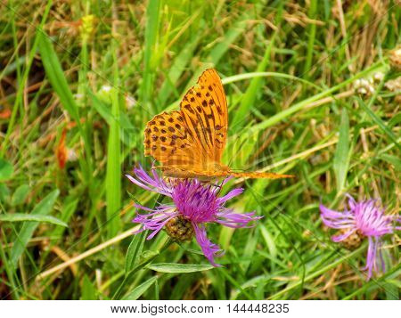 Butterfly on meadow flower in wild nature during spring