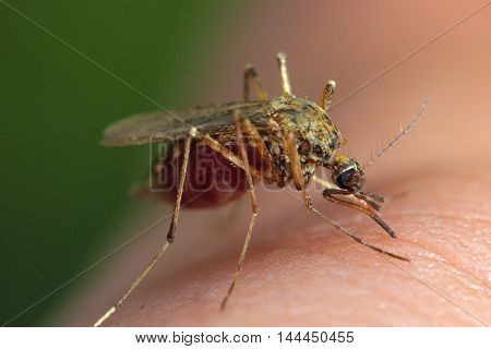 Ochlerotatus annulipes mosquito feeding on human blood (end of feed). Taken in Croxdale Woods, Durham, UK.