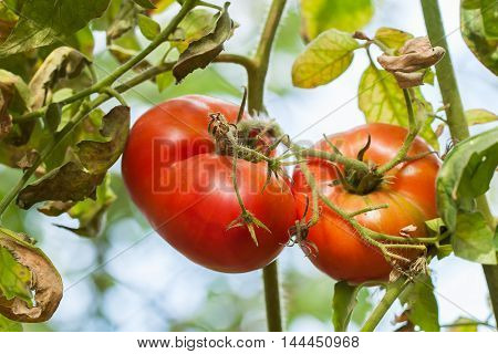 Ripe natural tomatoes growing on a branch a vegetable garden on a sunny day.
