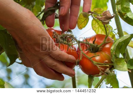 Hands of an elderly woman holding red homegrown tomatoes growing in a vegetable garden on a sunny day
