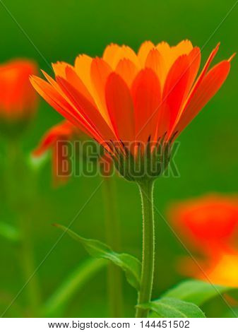 Orange on the green.Flower sun. flower fire.