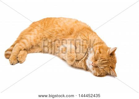 red ginger cat on a white background