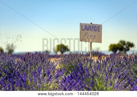 Lavender field summer sunset landscape with two tree near Valensole. Provence France Fine flower close up in a field in Provence France