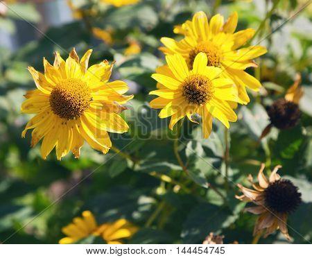 yellow flowers in summer field