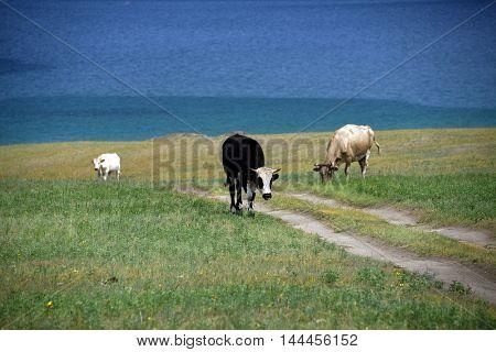 Cows on the shore of Baikal Lake, Russian Federation