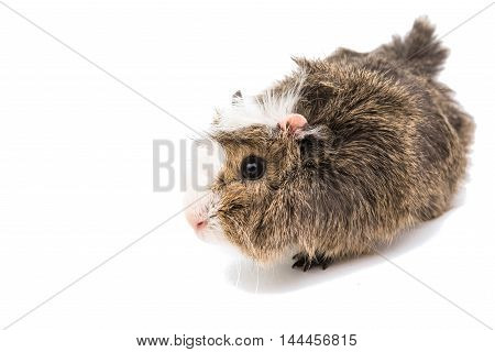 guinea pig pet rodent on a white background