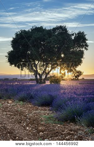 Lavender field summer sunset landscape with tree near Valensole Provence France