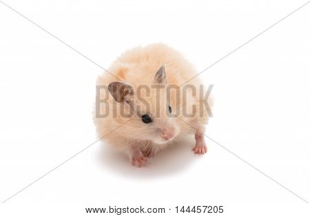 hamster pet rodent on a white background