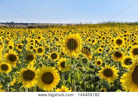 Sunflower field in Provence south of France