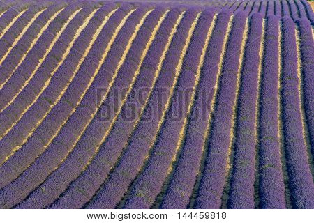 Rows of lavender field at sunset in Provence South of France