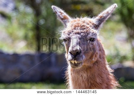 Close up of a llama in Chinchero Peru on a bright sunny day